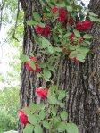 Red Climber Rose